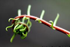 fern fiddlehead in the yard    MG 5031