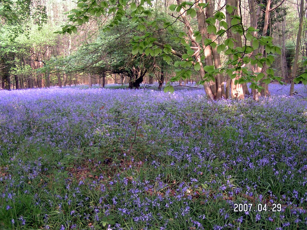 Bluebells in Latham Woods April 28 2007