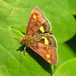 Mint Moth on Aquilegia foliage