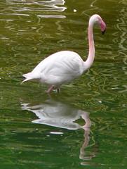 swan(0.0), ducks, geese and swans(0.0), animal(1.0), wing(1.0), fauna(1.0), beak(1.0), flamingo(1.0), bird(1.0), wildlife(1.0),