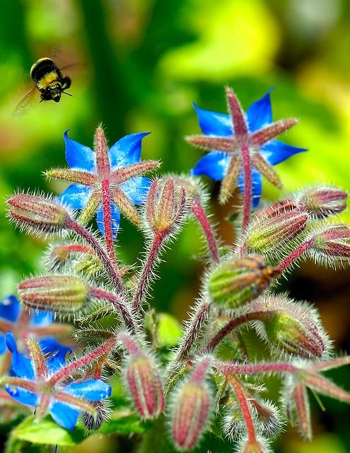 Bumble Bee Borago