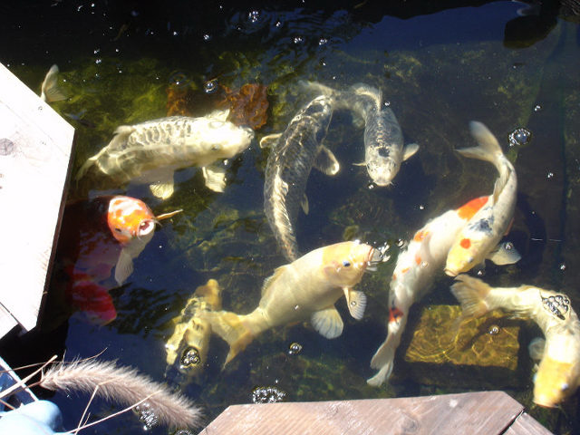 Koi blog how long do koi eggs sit before they come out for Koi carp eggs