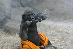 Baby Gorilla #2
