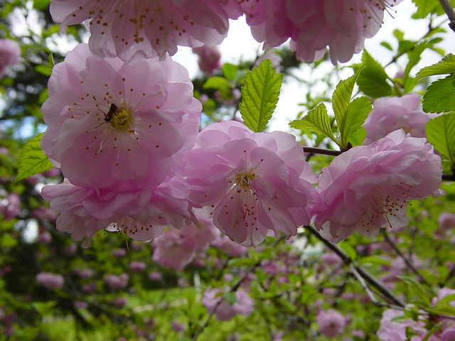 Double-flowering Almond | Flickr - Photo Sharing!