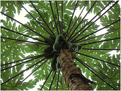coconut, branch, leaf, tree, produce, food,