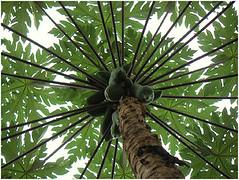 date palm(0.0), arecales(0.0), borassus flabellifer(0.0), elaeis(0.0), jungle(0.0), coconut(1.0), branch(1.0), leaf(1.0), tree(1.0), produce(1.0), food(1.0),