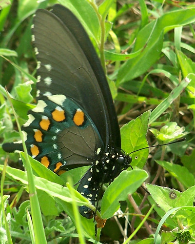 camp macro nature closeup butterfly wildlife birth mother insects eggs piper laying pipevine oviposit pipevineswallowtail