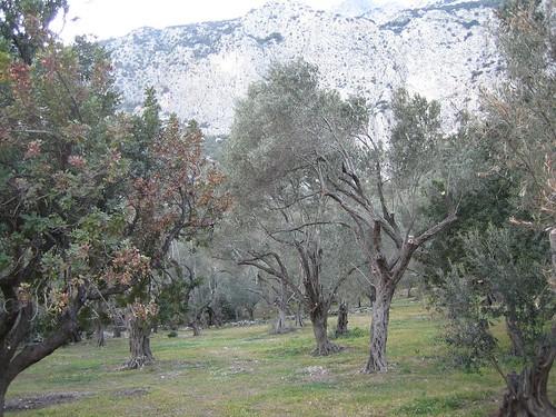 carob, olive and kerkis