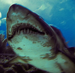 animal, fish, great white shark, shark, sea, ocean, marine biology, lamniformes, underwater, carcharhiniformes, requiem shark, tiger shark,