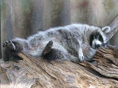 animal, raccoon, zoo, mammal, fauna, lemur, wildlife,