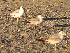 red backed sandpiper(0.0), sandpiper(0.0), lark(0.0), animal(1.0), fauna(1.0), gull(1.0), shorebird(1.0), bird(1.0), seabird(1.0), wildlife(1.0),
