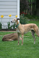 dog sports, dog breed, animal, magyar agã¡r, dog, polish greyhound, whippet, galgo espaã±ol, sloughi, pet, mammal, lurcher, italian greyhound, greyhound,