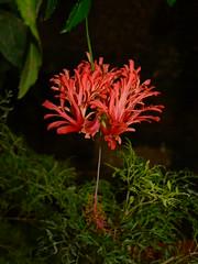 Hibisco do Japao