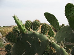 flower(0.0), barbary fig(0.0), acanthocereus tetragonus(0.0), echinopsis pachanoi(0.0), plant stem(0.0), field(1.0), plant(1.0), thorns, spines, and prickles(1.0), eastern prickly pear(1.0), nopal(1.0), opuntia(1.0), cactus family(1.0),