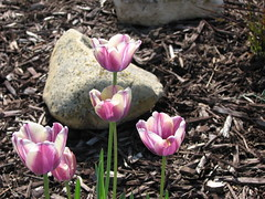 Tulips & Rocks