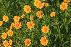 annual plant, flower, yellow, plant, herb, wildflower, flora, sulfur cosmos, meadow,
