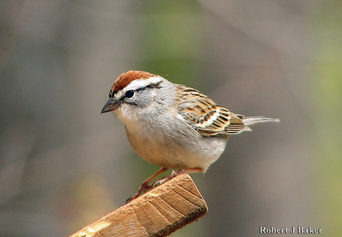 Chipping Sparrow_20070406_001
