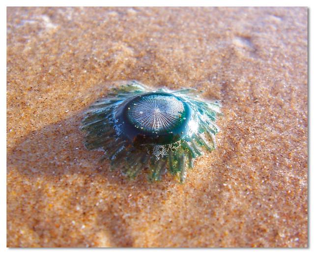 bluegreen jellyfish - Porpita porpita