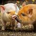 These little piggies by kelpie1