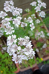 apiales, shrub, flower, cow parsley, plant, nature, lilac, herb, wildflower, flora, produce, spring,