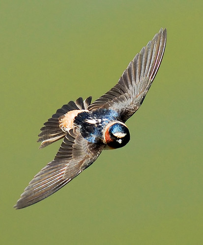 Cliff Swallow (Hirundo pyrrhonota)