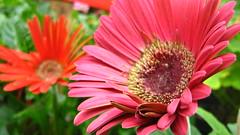 gaillardia, annual plant, flower, plant, gerbera, macro photography, flora, floristry, close-up, pink, petal,