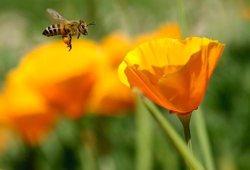 覓食的健康蜜蜂(圖片由 Danny Perez 提供)。