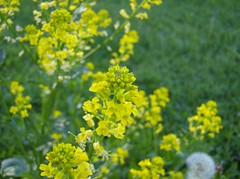 canola, flower, yellow, mustard plant, brassica rapa, plant, mustard, subshrub, herb, wildflower, flora, rue, meadow, rapeseed,