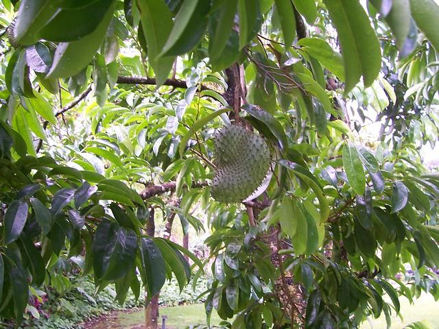 Soursop Tree | Flickr - Photo Sharing!