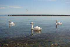 toronto spring-swan