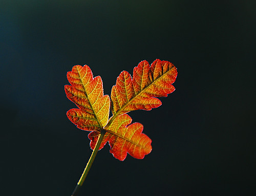 Poison Oak - Red Spring Leaf