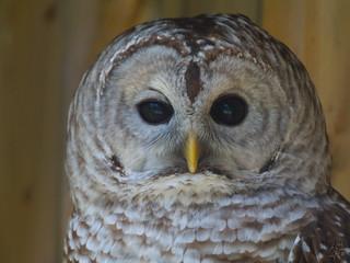 BarredBarred Owl (photo: Eric Begin via the Flickr Creative Commons license)