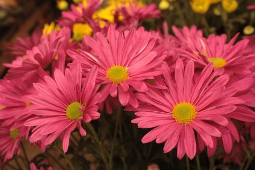 El Blog y Desvarios de Jessica Sweet: Margaritas rosas
