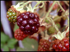blackberry, berry, plant, wine raspberry, flora, fruit, boysenberry,
