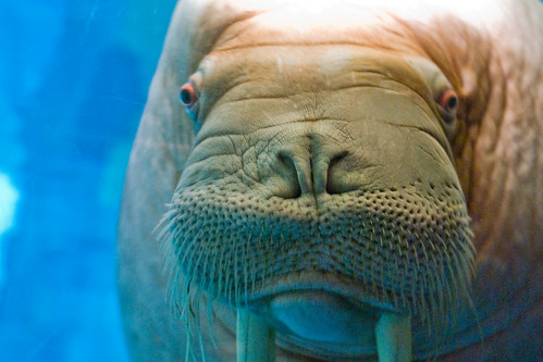 closeup of a walrus
