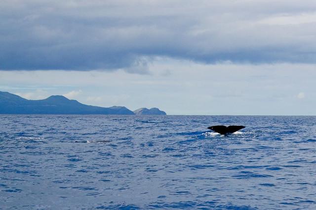 Cachalote en Azores