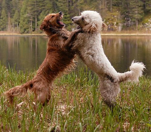 friends dog topv111 goldenretriever spring fight topv555 topv333 topv1111 topc50 topv999 topv777 marsh goldendoodle gvrd minnekhadapark impressedbeauty pet100 2007041500042