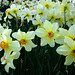 Pheasant's Eye Narcissi