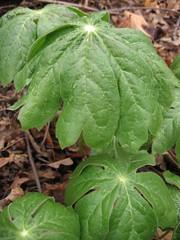 annual plant, leaf, podophyllum peltatum, plant, herb,