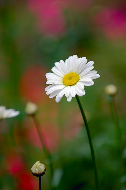 Daisies make me happy i don 39 t think there are any Flowers that make you happy