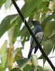 Zappey's Flycatcher, adult male by kampang