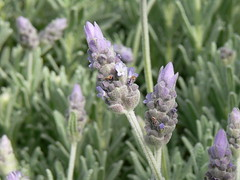 lavandula dentata, flower, english lavender, plant, lavender, lavender, macro photography, herb, wildflower, flora,