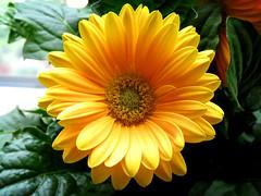 annual plant, calendula, flower, yellow, plant, gerbera, macro photography, flora, petal,