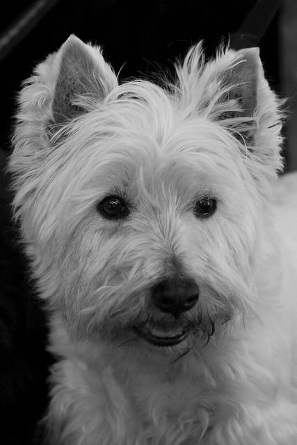 Westie Dog Walk Day Th June