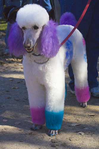 Blue Dyed Standard Poodle Million Paws Wa...