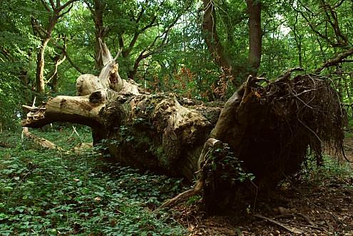 fallen tree - Castanea sativa (Fagaceae) - Pipers Hill ... Fallen