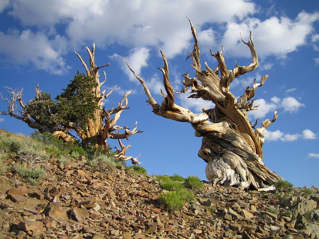 El Antiguo Bosque de los Pinos Longevos. Montañas Blancas, California.