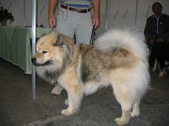 dog breed, animal, german spitz klein, dog, eurasier, pet, german spitz, german spitz mittel, alaskan malamute, carnivoran, icelandic sheepdog,