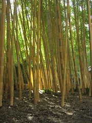 bamboo, wood, tree, sunlight, plant, grove, forest, trunk, natural environment, plantation,