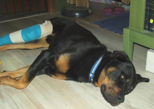 Fraturas em animais domésticos: primeiros socorros - Petlove - O Maior Petshop Online do Brasil
